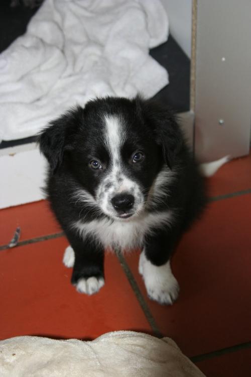 Ax skal til Kent-Åke og bli agilityhund